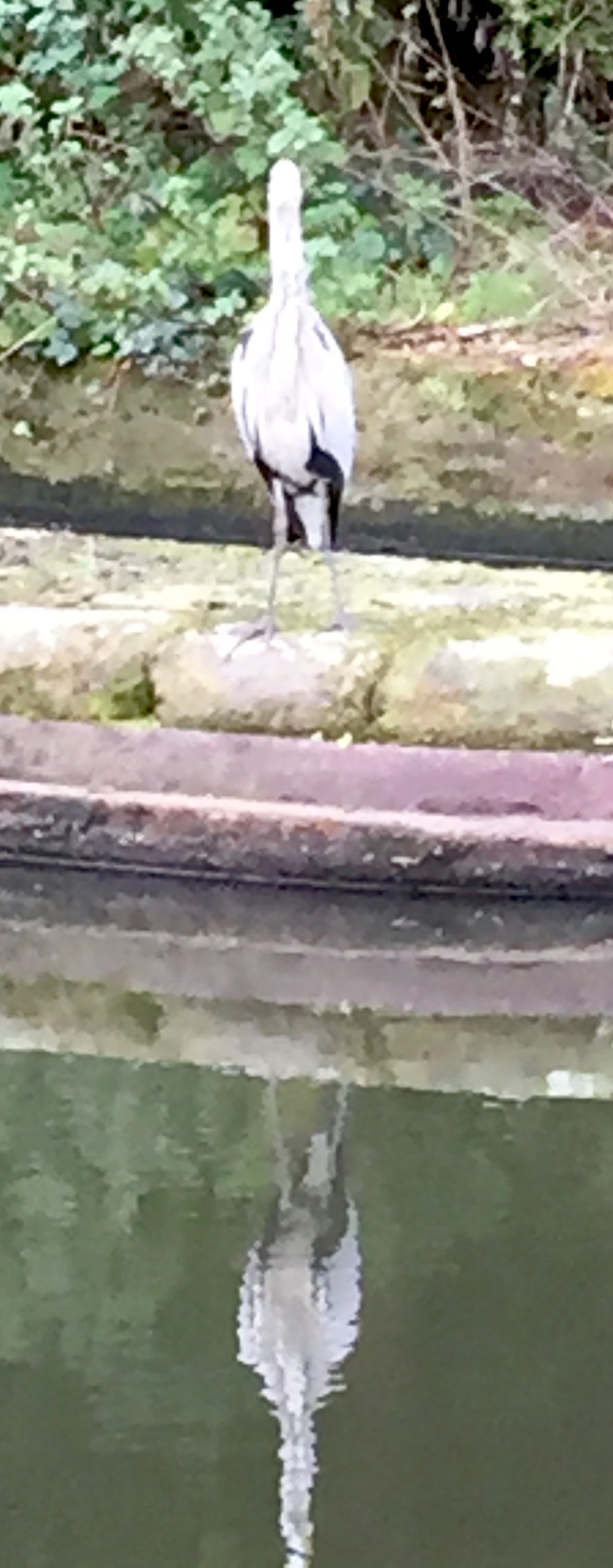 A heron fishing on the Birmingham main line canal