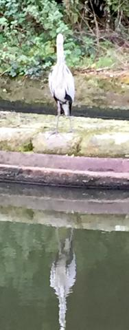A heron fishing on the Birmingham main line canal